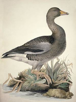 Greylag Goose, 19th Century Poster by Science Photo Library
