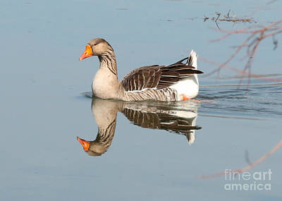 Greylag Goose On Calm Water Poster by Carol Groenen