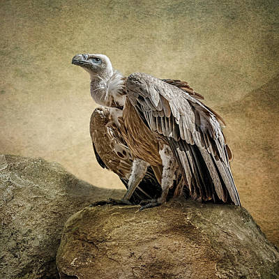 Poster featuring the photograph Griffon Vulture by Brian Tarr