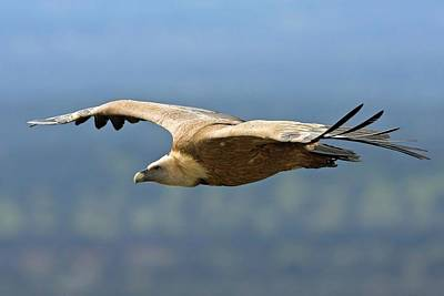 Griffon Vulture In Flight Poster by Bildagentur-online/mcphoto-schaef