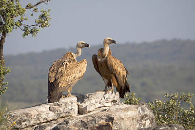 Griffon Vulture Pair Extremadura Spain Poster