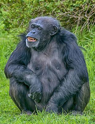 Grinning Chimp Poster
