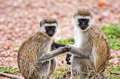 Grivet Monkey Chlorocebus Aethiops Poster by Photostock-israel