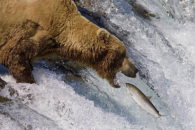 Grizzly Bear Catching Salmon Poster