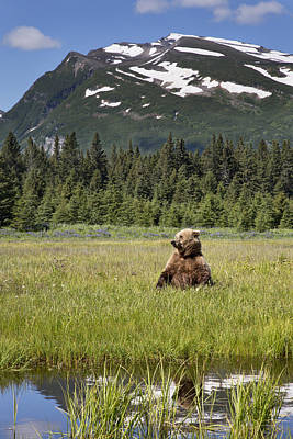 Grizzly Bear In Meadow Lake Clark Np Poster