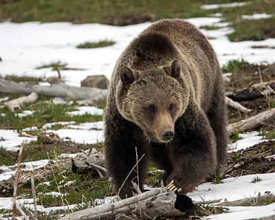 Poster featuring the photograph Grizzly Bear In Spring by Jack Bell