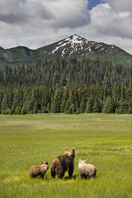 Grizzly Bear Mother And Cubs In Meadow Poster by Richard Garvey-Williams