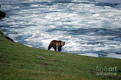 Poster featuring the photograph Grizzly Bear On Frozen Lake Yellowstone by Shawn O'Brien