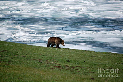 Poster featuring the photograph Grizzly Bear On The Shoreline Of Frozen Lake Yellowstone by Shawn O'Brien