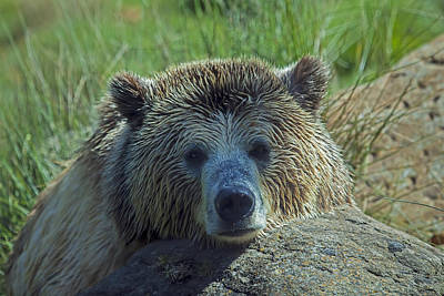 Grizzly Bear Resting Poster by Garry Gay