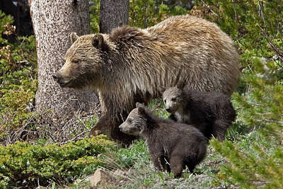 Grizzly Bear With Cubs Poster