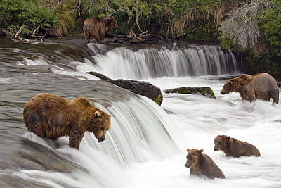 Grizzly Bears Fish At Brooks Falls In Poster by Chris Miller