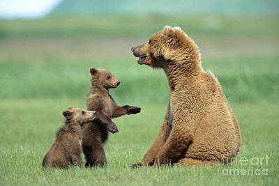 Grizzly Cubs Trying To Play With Mother Poster by Yva Momatiuk and John Eastcott