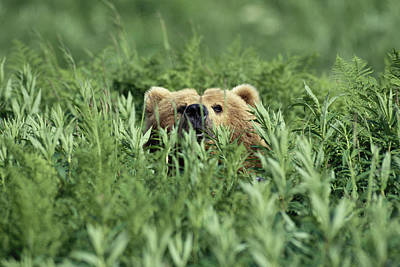 Grizzly Hidden In Ferns Near Karluk Poster by Tom Bol