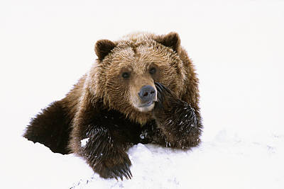 Grizzly Resting Head On Paw While Poster by Doug Lindstrand