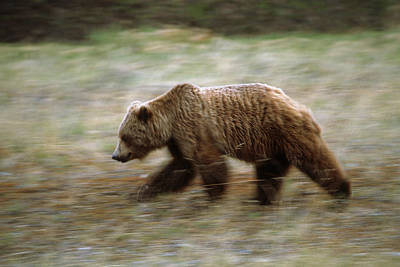 Grizzly Runs Through Meadow Blurred Poster by Peter Barrett