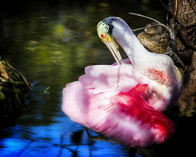 Preening Spoonbill Poster by Mark Andrew Thomas