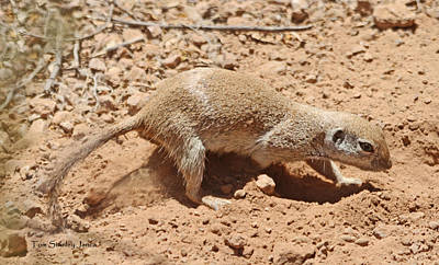 Ground Squirrel Digging A Hole In The Hot Desert Poster by Tom Janca