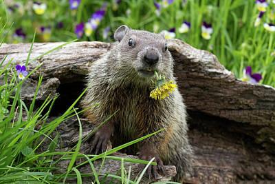 Groundhog  Kit Marmota Monax Poster by Debbie Dicarlo