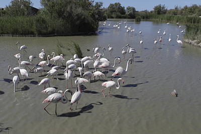 Group Flamingos In A Lake In France Poster