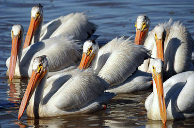 Group Of American White Pelicans Poster by Michel Hersen