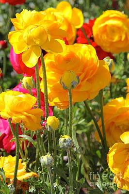 Growth Of A Ranunculus Poster by Suzanne Oesterling
