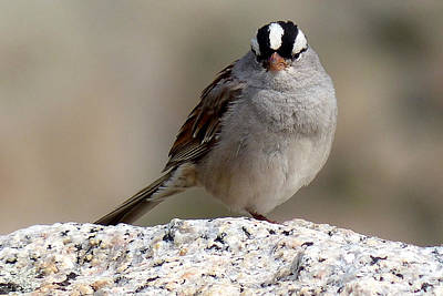 Grumpy White Crowned Sparrow Poster