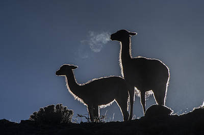Guanaco Pair Torres Del Paine Np Poster by Pete Oxford