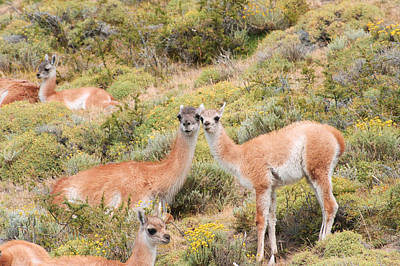 Guanaco Poster