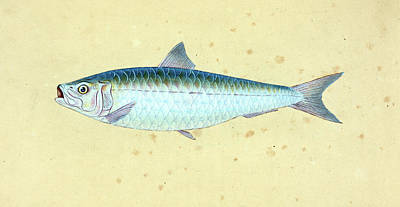 Gudgeon, Cyprinus Gobio, 1804, British Fishes Poster by Artokoloro