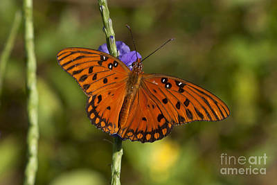 Poster featuring the photograph Gulf Fritillary Butterfly by Meg Rousher