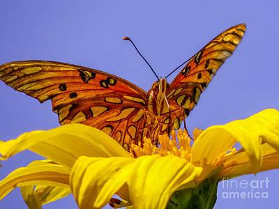 Gulf Fritillary Butterfly Poster by Zina Stromberg