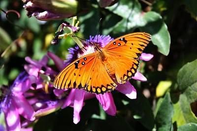 Gulf Fritillary Or Passion Butterfly Poster