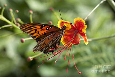 Poster featuring the photograph Gulf Fritillary Photo by Meg Rousher