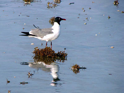 Poster featuring the photograph Gull In Seaweed by Linda Cox