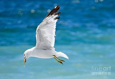 Herring Gull With Fish Poster