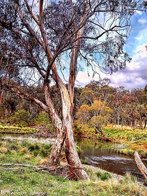 Gum Tree By The River Poster by Wallaroo Images