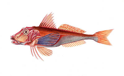 Gurnard Poster by Collection Abecasis