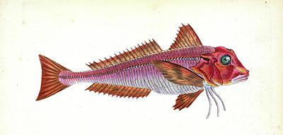 Gurnard, Streaked, Tirgla Lineatus, British Fishes Poster