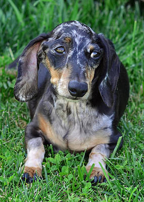 Gus The Dappled Miniature Dachshund Poster by Lisa Phillips