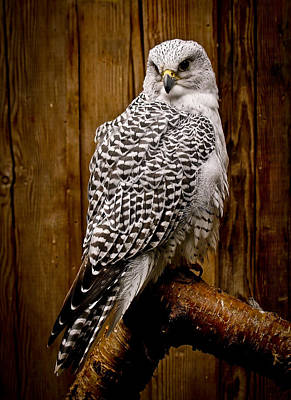 Gyrfalcon Perched Poster by Steve McKinzie