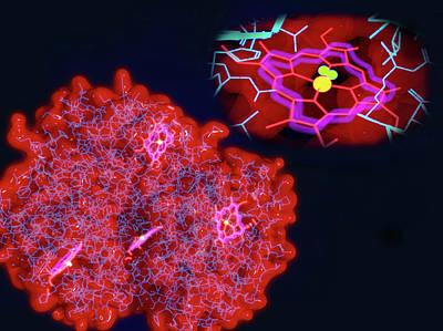 Haemoglobin And Haem Poster