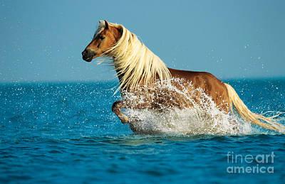 Haflinger Horse Poster by Gabriele Boiselle