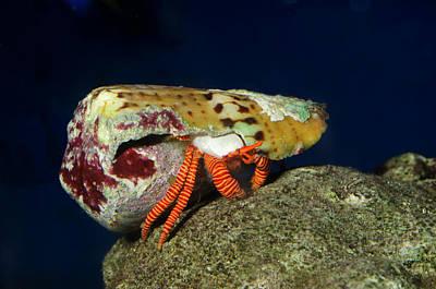Halloween Hermit Crab Poster