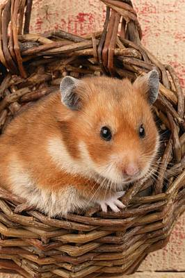 Hamster In Basket Poster