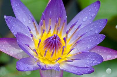 Hana Water Lily Poster by Hawaii  Fine Art Photography