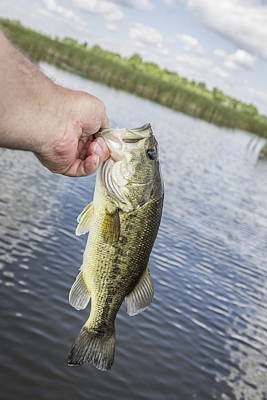 Hand Holding Largemouth Bass Poster by Thomas Young