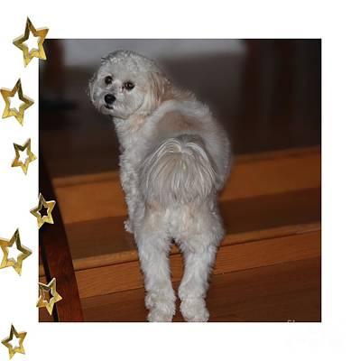 Handsome Havanese Pup Poster