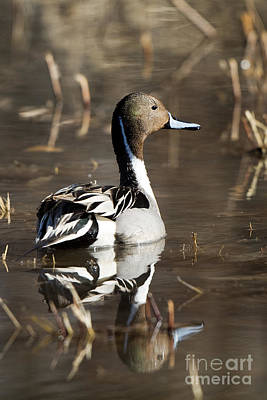 Northern Pintail Duck Poster