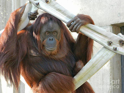 Poster featuring the photograph Hanging Out - Melati The Orangutan by Emmy Marie Vickers